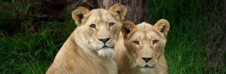 Hilfe für leidgeplagte Löwen